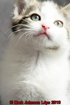 A small grey and white kitten